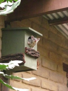 peeping out of new nest box