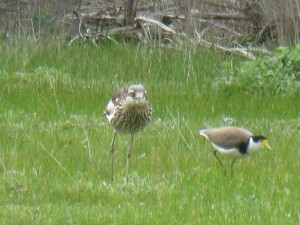 Bush stone curlew with masked lapwing friend snapped by Bruce Heggie near Lockwood South