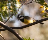 VIC_Nature_Crested_Shrike_Tit_04.04.16_271208_1474 [293053]