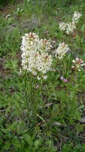Creamy candles (Stackhousia monogyna) Sept 2016